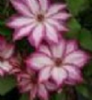 Clematis 'Picotee'  PBR     70cm